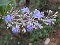Vitex trifolia 06.JPG