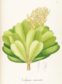 Vochysia cuneata Pohl117.png