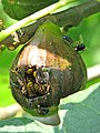 Wasps devouring a fig - geograph.org.uk - 1435902.jpg