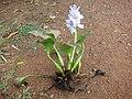 Water Hyacinth - കുളവാഴ - പറിച്ചെടുത്തത്.JPG