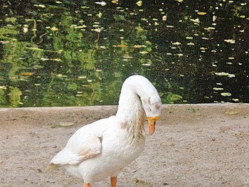 Water bird In Lucknow Zoo.jpg