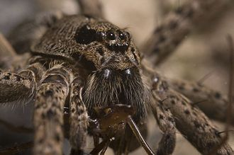 Dolomedes - Like other spiders Dolomedes have eight eyes, but their sense of touch is more important when it comes to detecting prey by their vibrations on the surface of the water.
