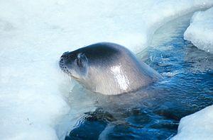 Weddell seal - Weddell seal