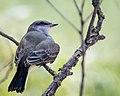 Western Kingbird (35883448711).jpg