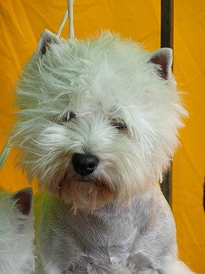 West Highland White Terrier - Viquipèdia, l\'enciclopèdia lliure