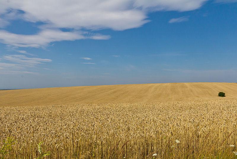 File:Wheat fields in Ukraine-5961.jpg
