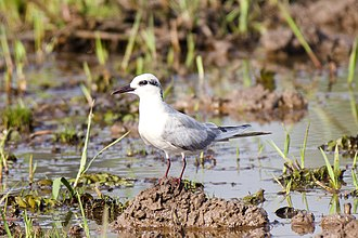 Whiskered tern - Winter plumage