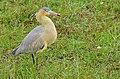 Whistling Heron (Syrigma sibilatrix) (29104620105).jpg