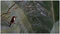 White-breasted Kingfisher (Halcyon smyrnensis fusca) by Dharani Prakash.jpg