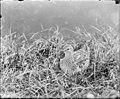 White-rumped sandpiper sitting on nest (68979).jpg