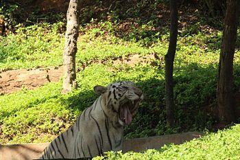 White Tiger 2 at Indira Gandhi Zoological Park, Visakhapatnam.jpg