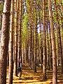 White pines, Varden Conservation Area.jpg