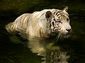 White tiger II (13945316531).jpg