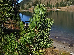 Whitebark Pine foliage near the shore of Cryst...