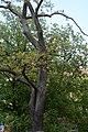 Wiener Naturdenkmal 759 - Kastanienblättrige Eiche (Döbling) g.JPG