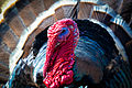 Wild Turkey (Meleagris gallopavo) (16711711119).jpg