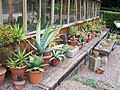 Winterbourne - Agave and Aloe Alley by the arid house (5987484298).jpg