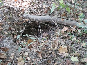 Nine-banded armadillo - Armadillo burrow