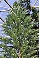 Wollemi Pine - Wollemia nobilis (41997643991).jpg