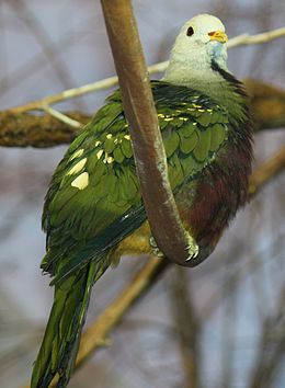 Wompoo Fruit Dove 057.jpg