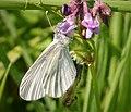 Wood White. Leptidea sinapis - Flickr - gailhampshire.jpg