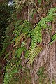 Woodwardia radicans 002.jpg