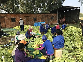 Agriculture in South Africa - Cleaning and packing maize