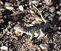 Wupatki National Monument - Crotaphytus collaris - 01.JPG