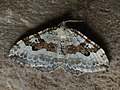 Xanthorhoe montanata - Silver-ground carpet - Ларенция щавелевая (42622458241).jpg