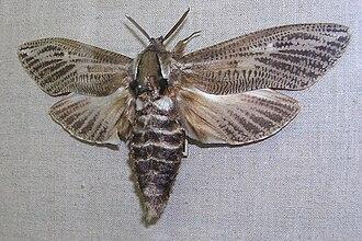Cossidae - Specimen of the large Zeuzerinae genus Xyleutes