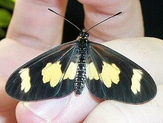 Acraea (genus) - A. cabira