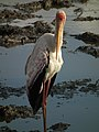 Yellow-billed Stork Mycteria ibis in Tanzania 3337 Nevit.jpg