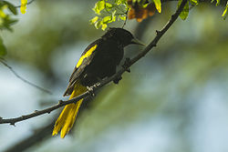 Yellow-winged Cacique - Chiapas - Mexico S4E7804 (23781023312).jpg