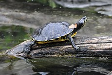 Yellow Bellied Slider Basking.jpg