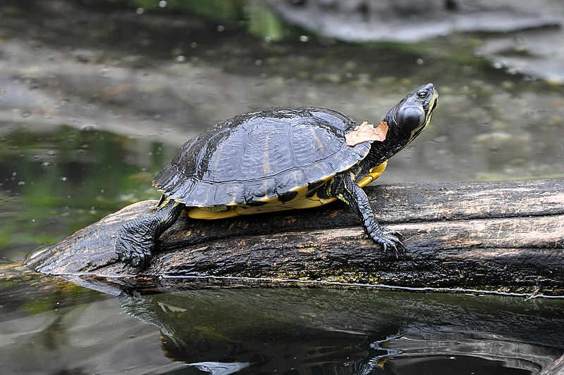 Basking Yellow-bellied Slider