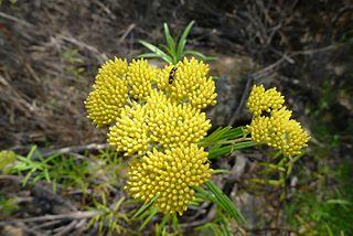 <i>Cassinia aureonitens</i> Species of flowering plant