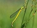 Yellow Damselfly Ceriagrion Melanurum キイトトンボ (218191083).jpeg