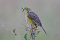 Yellow throated Longclaw Macronyx croceus.jpg