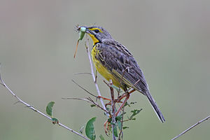Longclaw - Yellow-throated longclaw