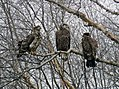 Young Bald Eagles (31488072011).jpg