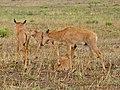 Young Tsessebes (Damaliscus lunatus lunatus) nursery (11684080854).jpg