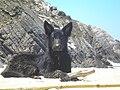 Young black german shepherd at the beach.JPG