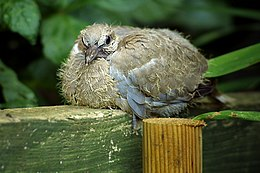 Young collared dove