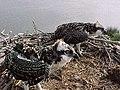 Young osprey at Back Bay National Wildlife Refuge in Virginia. (5343668914).jpg