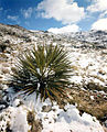Yucca Plant at the Nevada Test Site 3.jpg