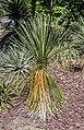 Yucca baileyi in Christchurch Botanic Gardens 01.jpg