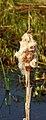 Zaadpluizen grote lisdodde (Typha latifolia). Locatie, De Famberhorst 06.JPG