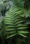Zamia Roezlii - leave of 5 yrs old plant in City of Prague Botanical Garden.jpg