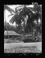 Zanzibar. Cocoanut (i.e., coconut) farm LOC matpc.17663.jpg