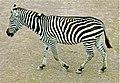 Zebra sideview.jpg